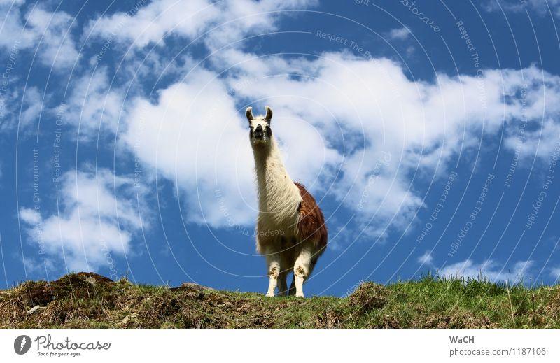 Ach guck mal ... (2) Natur Tier Wiese Feld Hügel Haustier Nutztier Zoo Streichelzoo 1 Blick Neugier Interesse Alpaka Tragtier Farbfoto Außenaufnahme Tag
