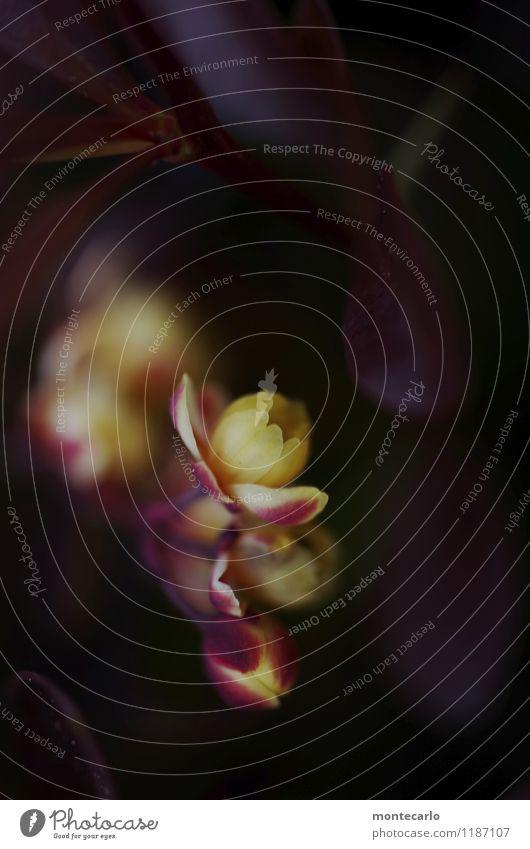 Blutberberitze Natur Pflanze grün Blatt dunkel Umwelt Frühling Blüte natürlich klein wild frisch authentisch Sträucher rund violett