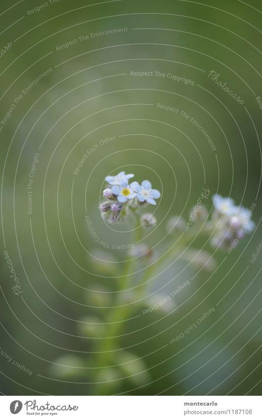 kleinfein Natur blau Pflanze grün Sommer Blume Blatt Umwelt Frühling Blüte natürlich wild frisch authentisch einfach