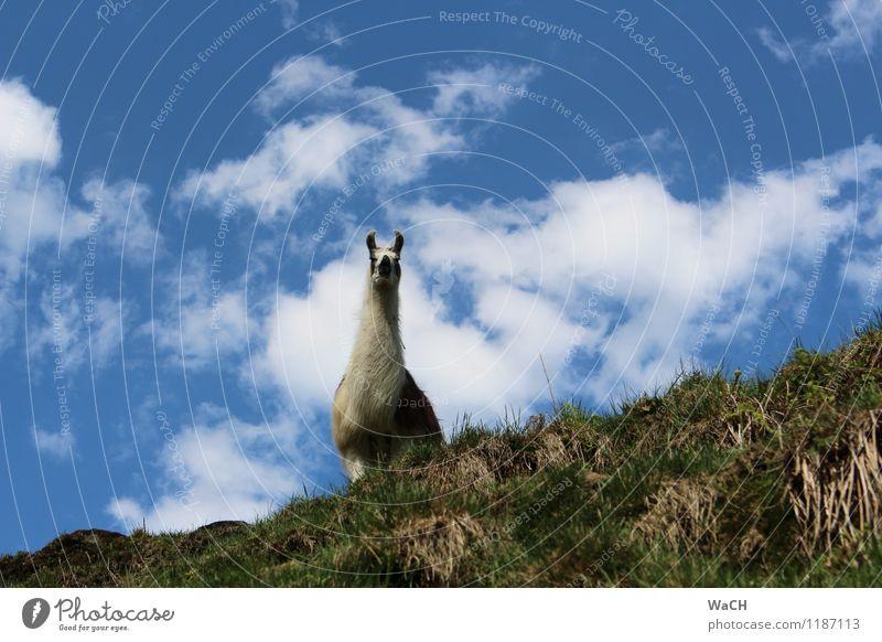 Ach guck mal ... (1) Natur Tier Feld Hügel Haustier Nutztier Zoo Streichelzoo Blick frech Neugier Alpaka Tragtier Farbfoto Außenaufnahme Tierporträt