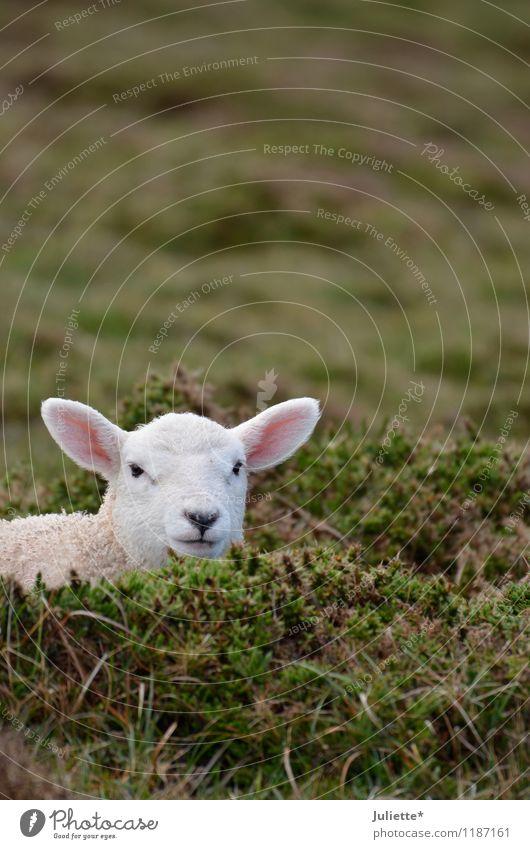 s´Lämmle Natur Ferien & Urlaub & Reisen grün weiß Einsamkeit Landschaft ruhig Tier Tierjunges Leben Frühling Wiese rosa Feld Erde Nase