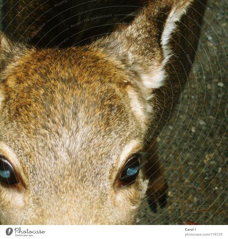 Rehaugen blau weiß rot Winter Ernährung Auge kalt Freiheit Linie Wildtier weich Neugier Ohr Fell Zoo Appetit & Hunger