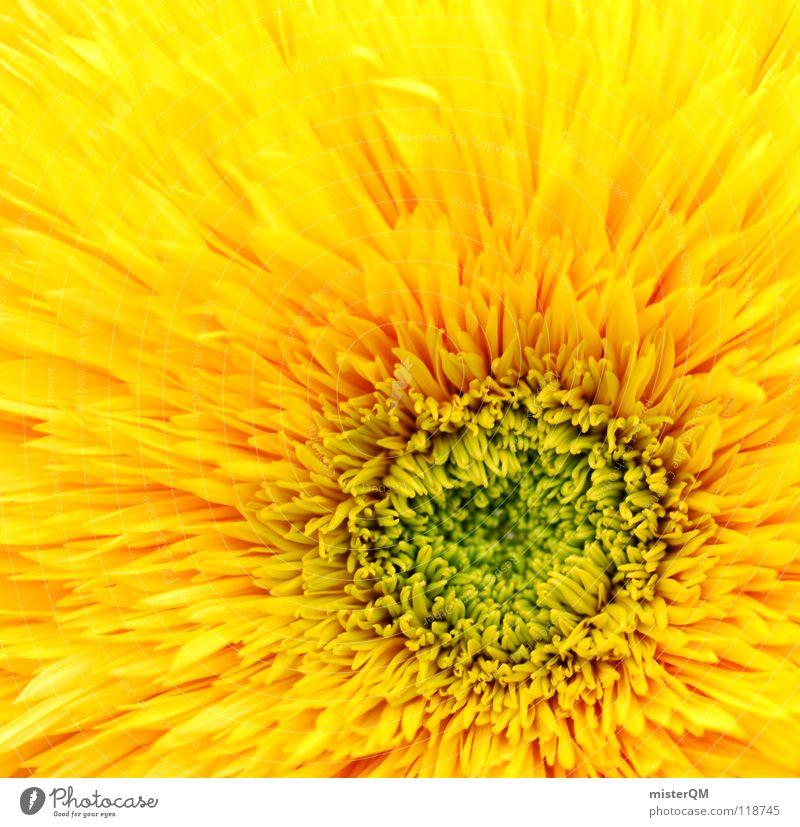 mesmerizing sun Blume Blüte Blütenblatt Mitte zentral Quadrat gelb grün Physik Natur Wachstum Beleuchtung frisch saftig schön ursprünglich