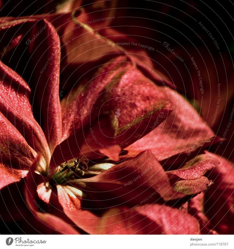 Blütenflammen alt Blume rot schwarz Vergänglichkeit Blütenblatt Blütenkelch vergrößert