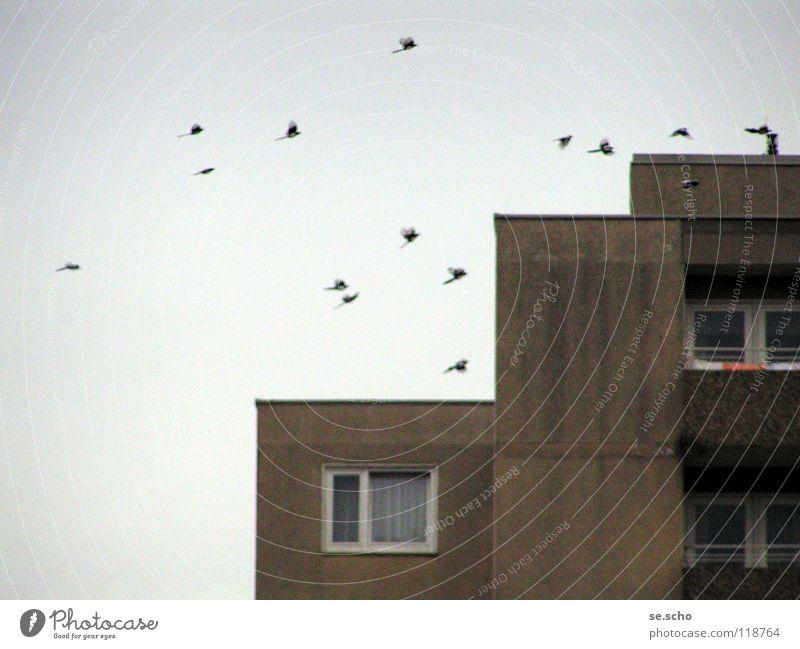 Die Vögel Vogel Elster Neubau Fenster Plattenbau Himmel Schwarm grau-in-grau