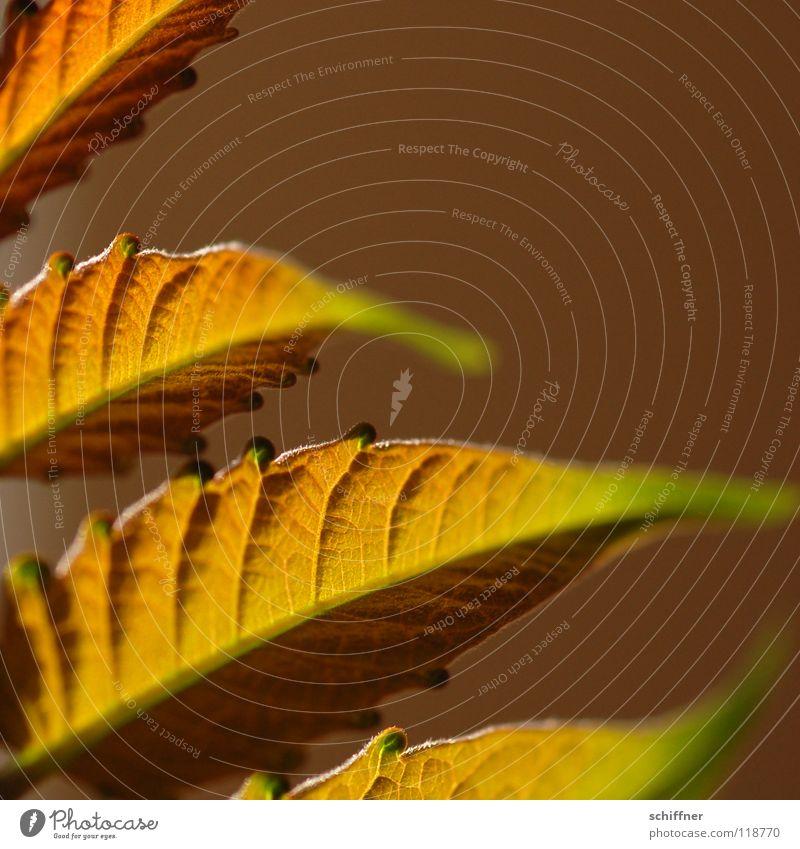 <101> Details Stil Sommer Pflanze Beleuchtung hell Unschärfe Blattstruktur Blattstil Sonne Wärme Farbe gold Detailaufnahme Makroaufnahme