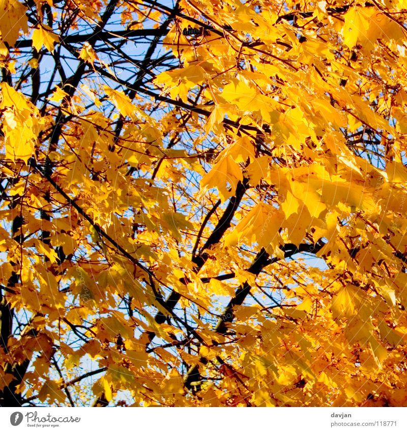 Blätterrauschen schön Himmel Baum Blatt gelb Herbst orange Ast