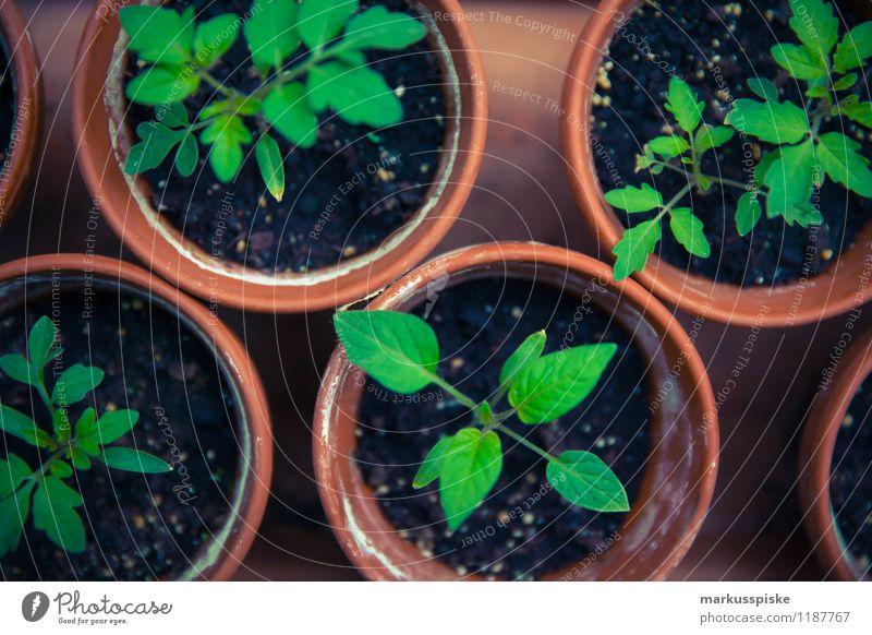 tomaten aufzucht urban gardening Lebensmittel Gemüse Salat Salatbeilage Frucht Tomate züchten ziehen Blüte Topfpflanze selbstversorgung Stadtleben Lifestyle