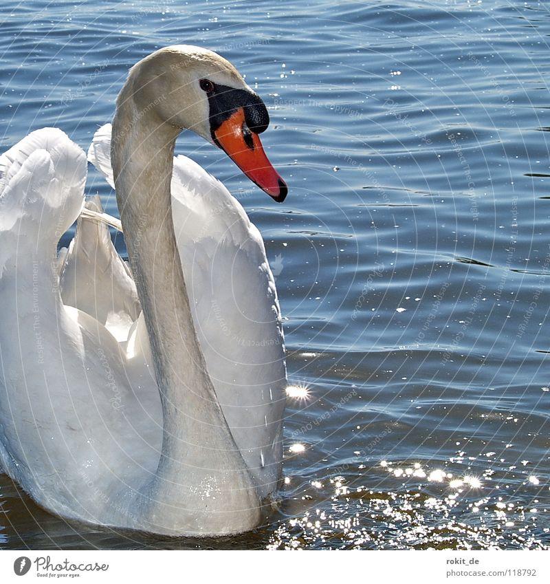 Schwanimsee Vogel Feder Schnabel Kamelhöcker Höckerschwan glänzend Rhein Schwanensee Schwangau Sommer Wasser wasservogel vogel im wasser mein lieber schwan