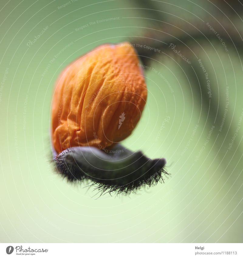 Neueröffnung... Natur Pflanze grün Blume Blatt Umwelt Leben Frühling natürlich klein Garten außergewöhnlich orange frisch Wachstum Kraft