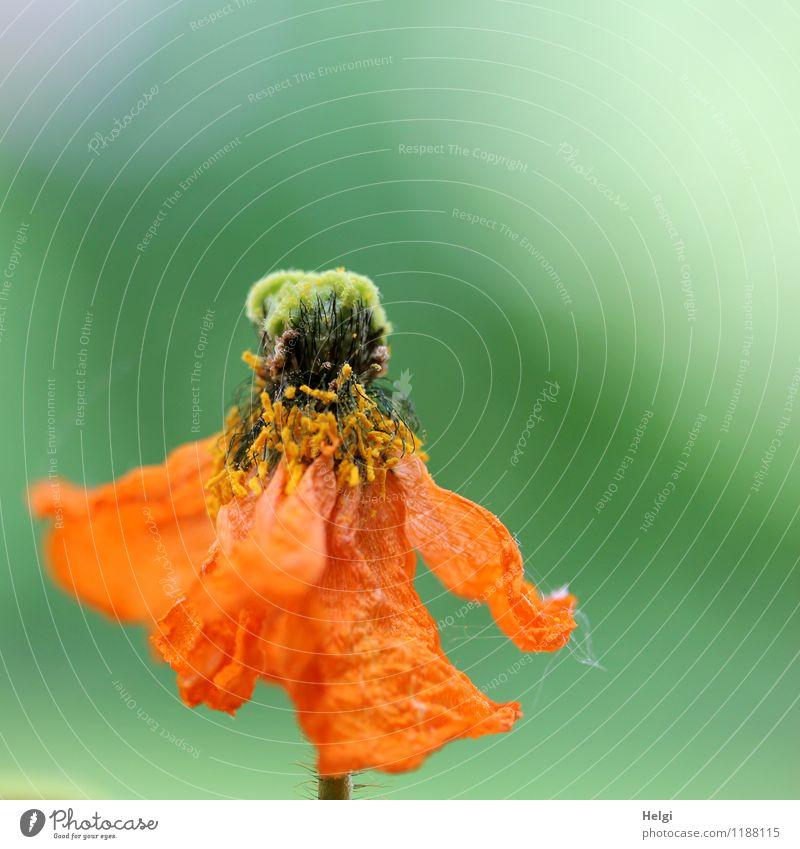 welkende Schönheit... Umwelt Natur Pflanze Frühling Blume Blüte Mohn Islandmohn Garten alt Blühend hängen verblüht dehydrieren authentisch außergewöhnlich