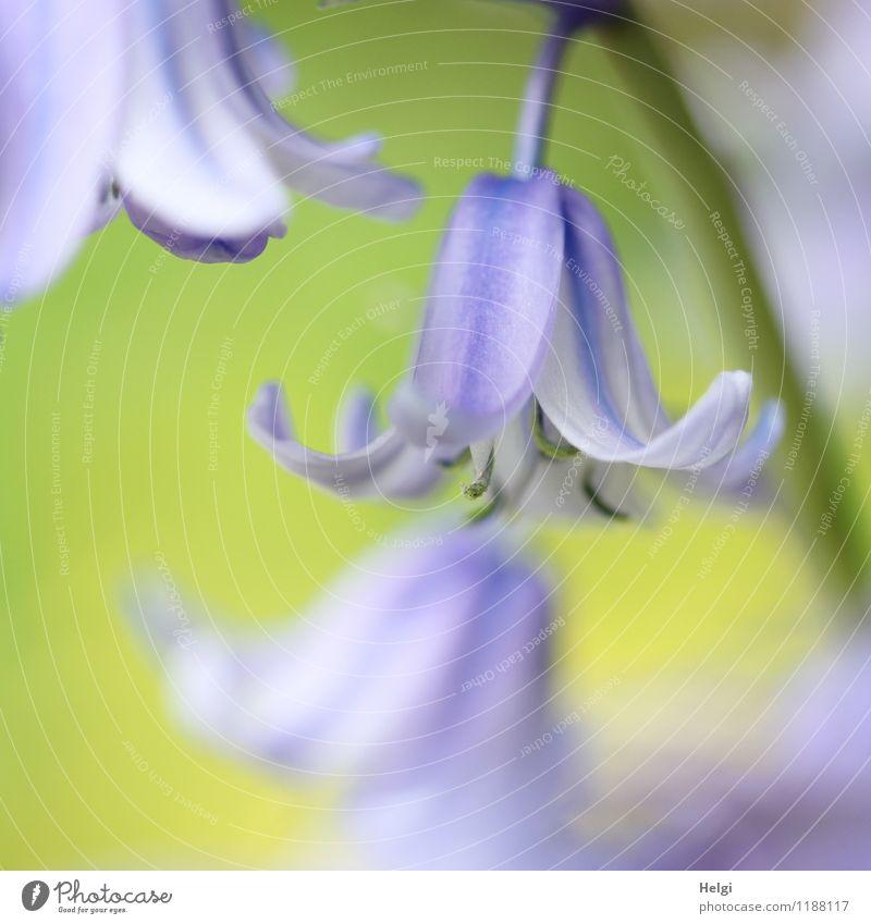 Hasenglöckchen... Umwelt Natur Pflanze Frühling Blüte Garten Blühend Wachstum ästhetisch schön klein natürlich grün violett einzigartig Leben Glocke Farbfoto