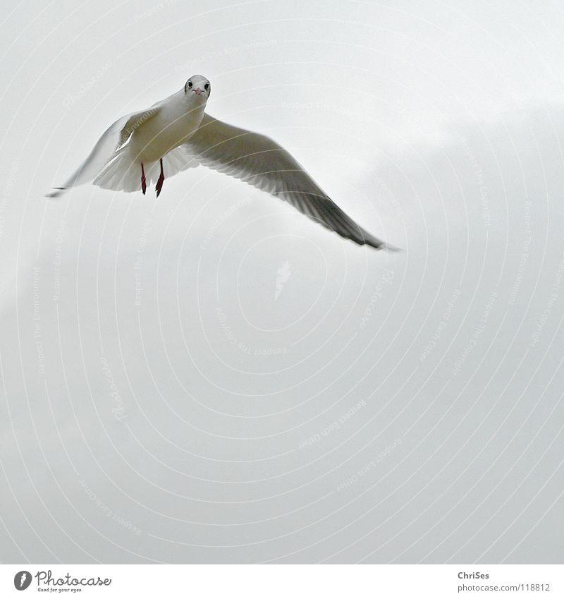 Trauerflieger : Silberkopfmöwe ( Larus novaehollandia ) Himmel weiß Meer Tier Wolken schwarz Herbst grau See Vogel fliegen Möwe Federvieh Cuxhaven