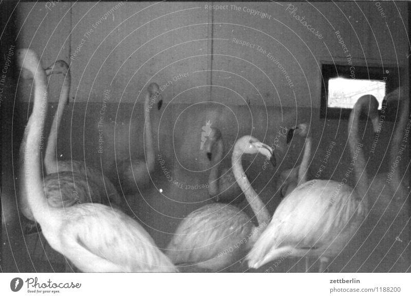 Flamingos, 1984 Vogel exotisch Zoo Gehege Justizvollzugsanstalt gefangen Wintergarten winterfest Stadtteil Vogelkäfig Textfreiraum Schwarzweißfoto trist