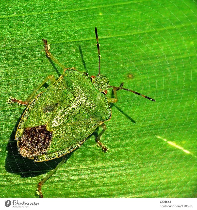 Grün auf Grün : Grüne Stinkwanze (Palomena prasina) grün blau Blatt Tier Angst Insekt Geruch Panik Nordwalde Wanze Baumwanze Grüne Stinkwanze