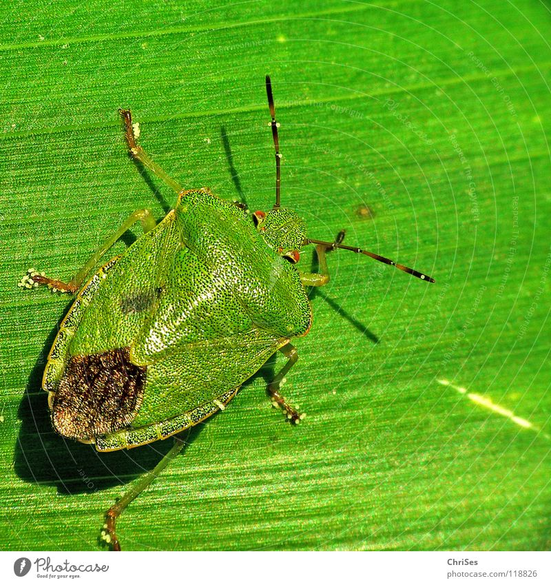 Grün auf Grün : Grüne Stinkwanze (Palomena prasina) Baumwanze Wanze Insekt grün Tier Blatt Nordwalde Makroaufnahme Nahaufnahme Angst Panik blau hibiskusblüte