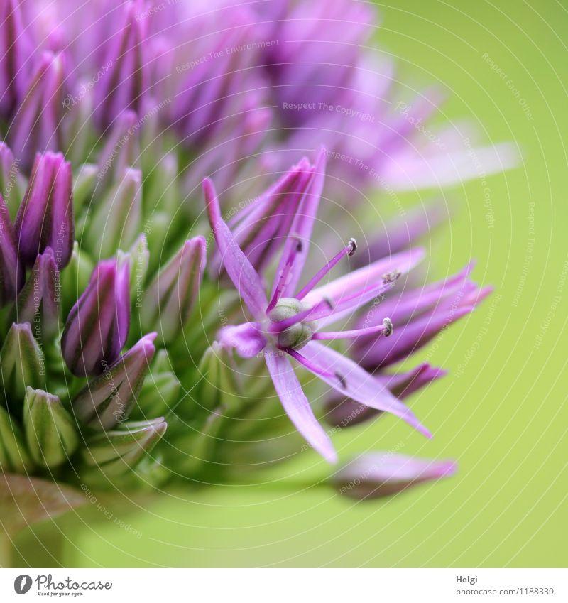 lila Sternchen... Umwelt Natur Pflanze Frühling Schönes Wetter Blume Blüte Knollengewächse Blütenknospen Garten Blühend Wachstum ästhetisch schön einzigartig