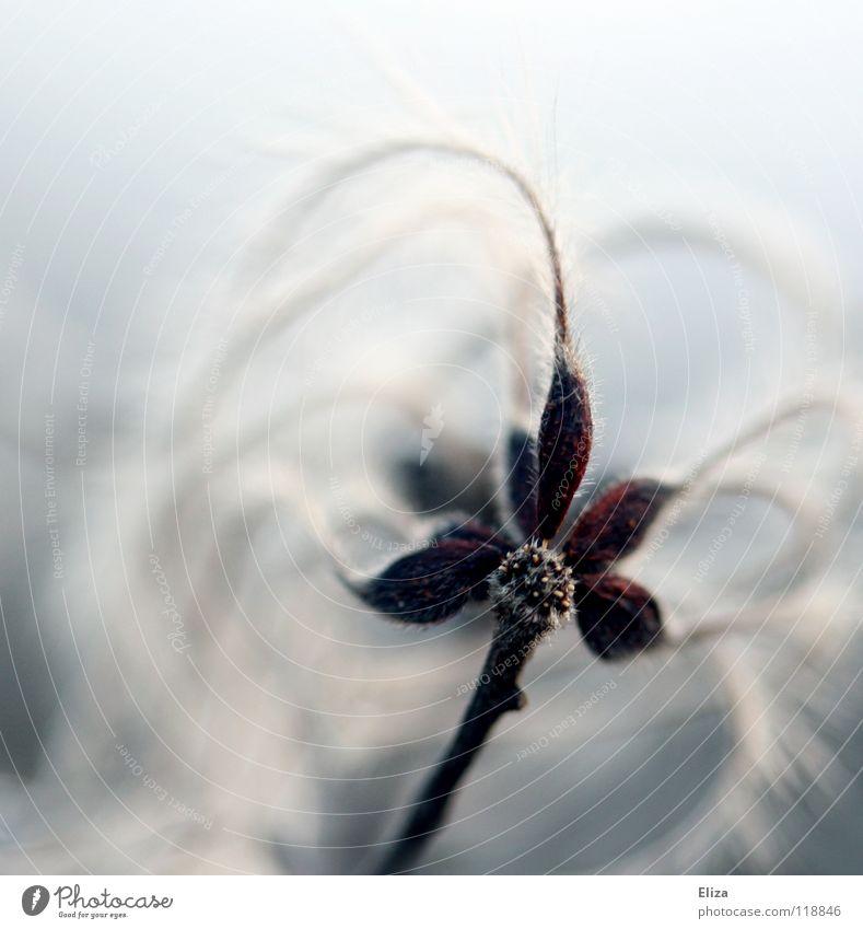 Wuschligweich Blume Blüte Frühling Winter kalt Nacht schön sanft zart Pflanze Makroaufnahme Himmel dunkel Fussel weiß Spielen Flaum Daunen Natur leicht violett