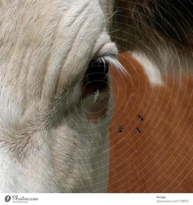 Was guckst du? Tier Auge Haut warten fliegen stehen Ohr Falte beobachten Fell Kuh Säugetier Wimpern Rind Misstrauen Vieh