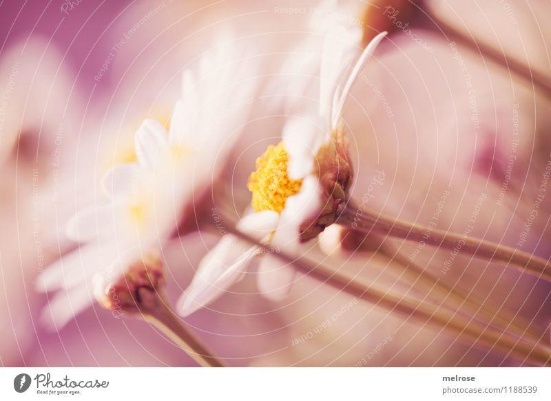 leichte Brise Natur Pflanze schön Sommer weiß Sonne Erholung Blume gelb Blüte Gefühle Stil Garten rosa träumen leuchten