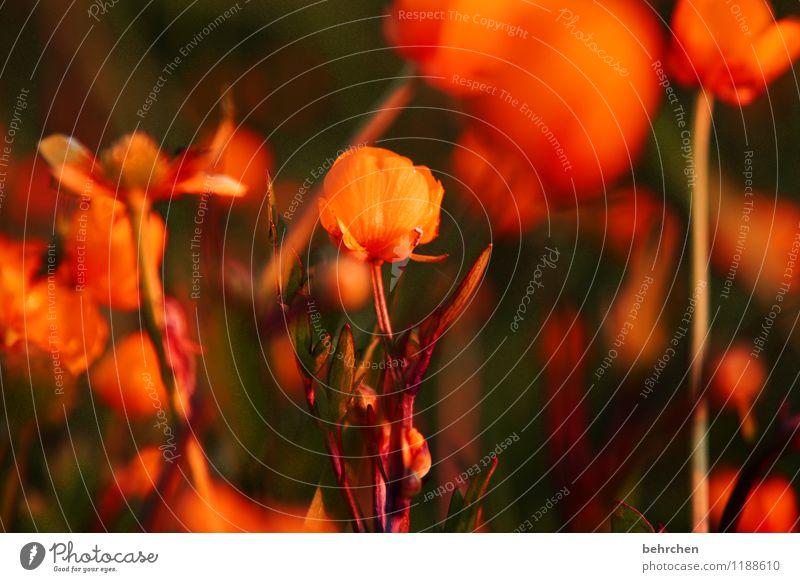 orangner traum Natur Pflanze schön Sommer Blume Blatt Blüte Frühling Wiese Gras klein Garten Park orange Feld Wachstum