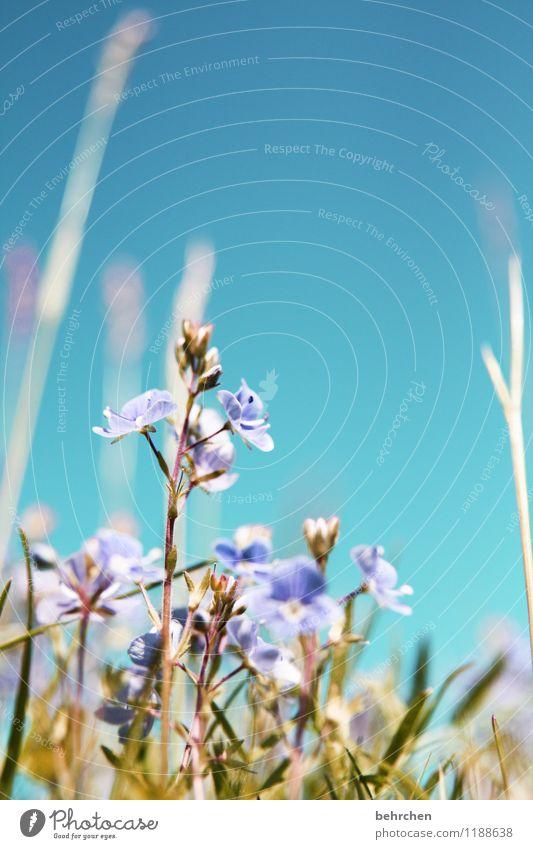 dem himmel entgegen Natur Pflanze Wolkenloser Himmel Frühling Sommer Herbst Schönes Wetter Blume Gras Blatt Blüte Wildpflanze Veronica Garten Park Wiese Feld