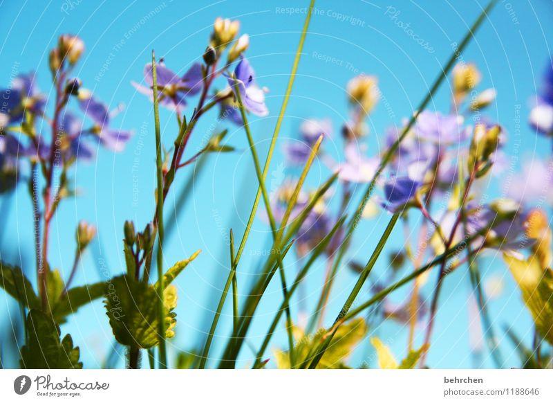 ein hauch sommer Natur Pflanze Himmel Frühling Sommer Schönes Wetter Blume Gras Blatt Blüte Wildpflanze Veronica Garten Park Wiese Feld Blühend Duft Wachstum