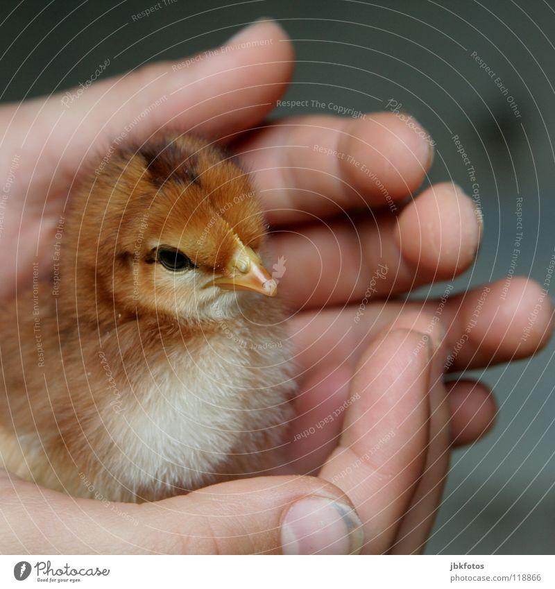 Geborgenheit Freizeit & Hobby Kindheit Hand Finger Nutztier Vogel Liebe klein süß Sicherheit Schutz Küken Mauerschütze Haushuhn Auge Schnabel zerzaust