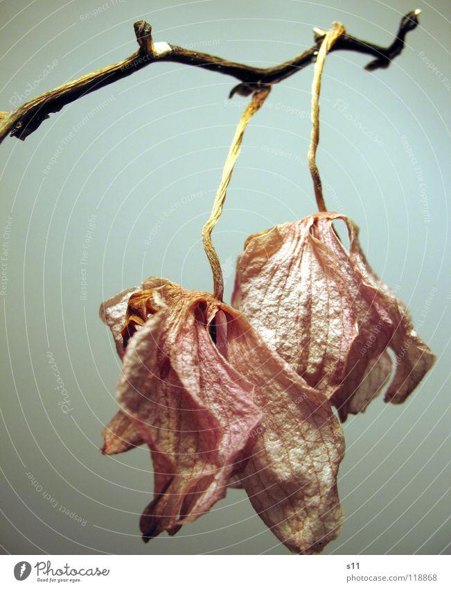 OrchideenTod alt Blume Tod Blüte Traurigkeit rosa trist Trauer Vergänglichkeit violett Stengel hängen Verzweiflung vergangen Orchidee verschrumpelt