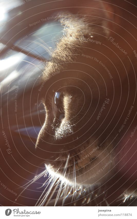 Minou Katze braun Oberlippenbart geheimnisvoll Miau Physik kuschlig Schnurrhaar Tier Cat Katzenauge cateye Katzenkorb Haare & Frisuren Tieger Fell Wärme Mietze