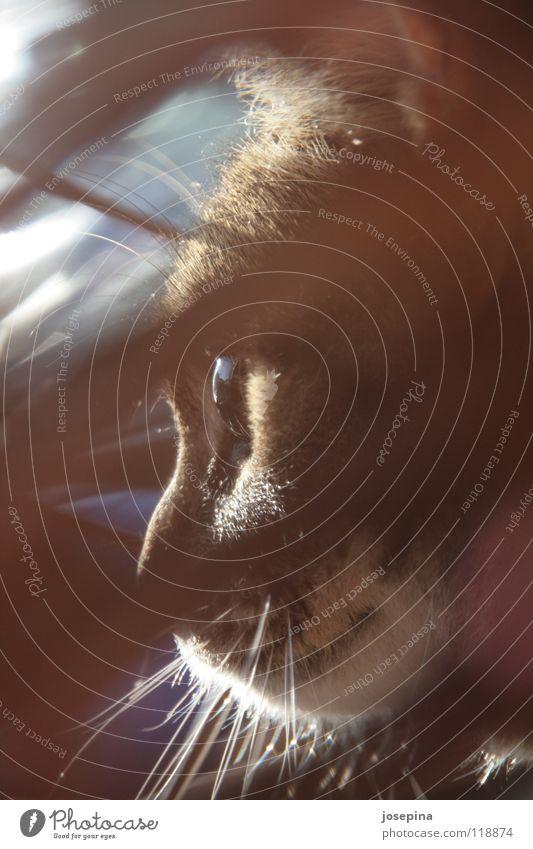 Minou Tier Auge Katze Haare & Frisuren Wärme braun beobachten Physik Fell geheimnisvoll kuschlig Oberlippenbart Schnurrhaar Miau Katzenauge