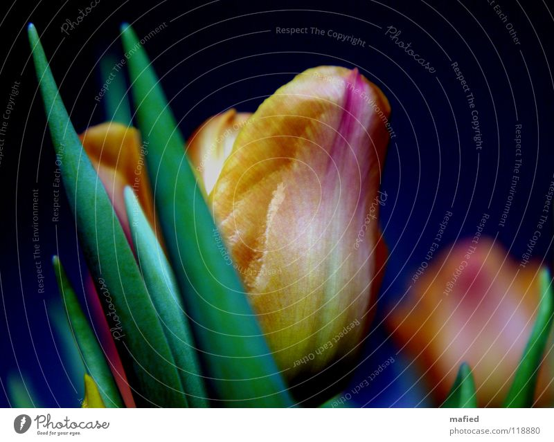 Tribute to Gerti G. Blume grün blau gelb Farbe Blüte Frühling orange rosa verrückt Fröhlichkeit Stengel Blühend Tulpe edel Vase