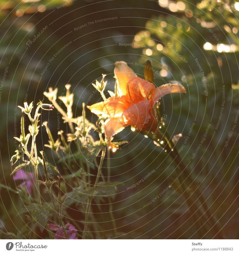 Lichtfänger Natur Pflanze grün Sommer Blume gelb Blüte Garten orange leuchten Lilien Lichteinfall lichtvoll Lichtstimmung Gartenpflanzen Nachmittagssonne
