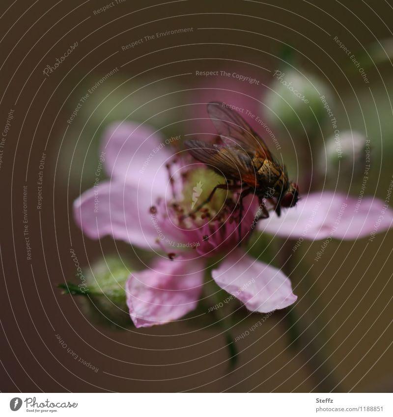 summertime Natur Pflanze Sommer Blume Blüte Wildpflanze Blütenblatt Blütenknospen Fliege Flügel Insekt Blühend braun rosa Sommergefühl sommerlich Sommertag