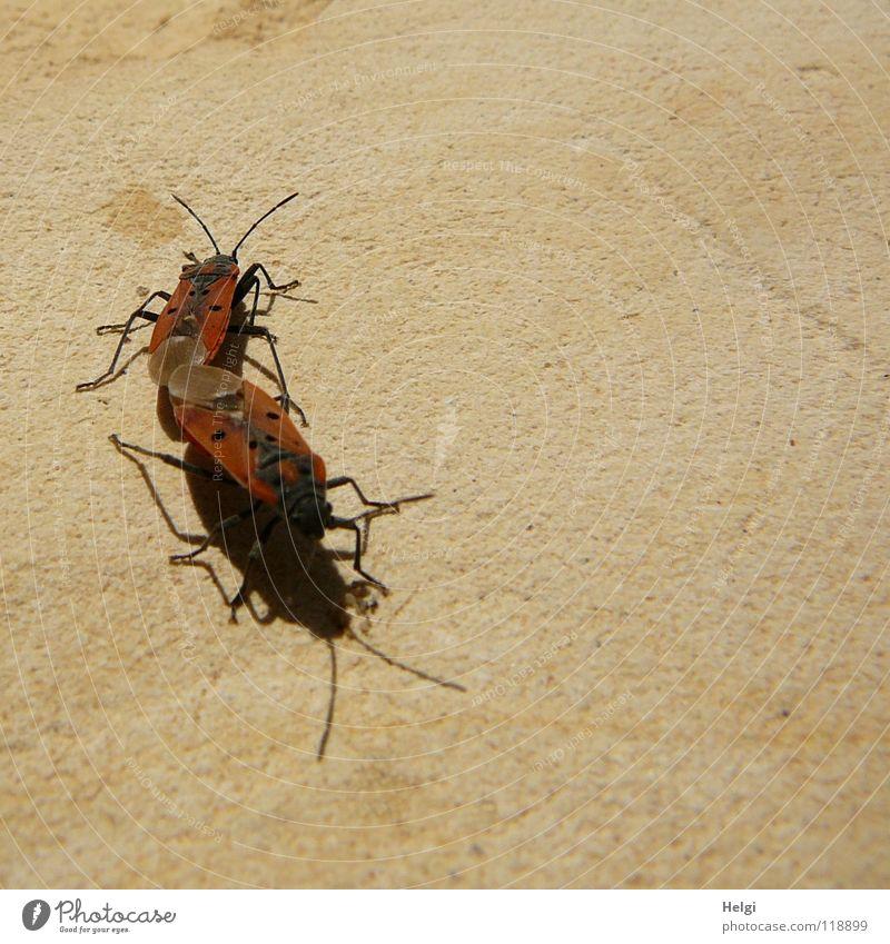 Feuerwanzen... rot schwarz Tier Farbe Auge Wärme Stein Mauer Lampe Beine braun Zusammensein fliegen Tierpaar paarweise mehrere
