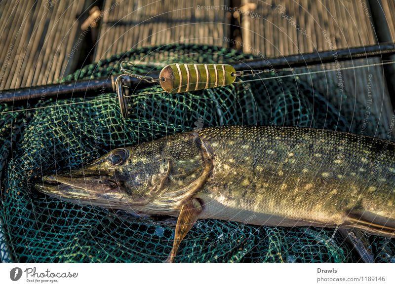 Boddenhecht grün Tier gelb Glück braun Freizeit & Hobby Wildtier gold Erfolg Fisch Leidenschaft fangen Jagd Angeln silber kämpfen