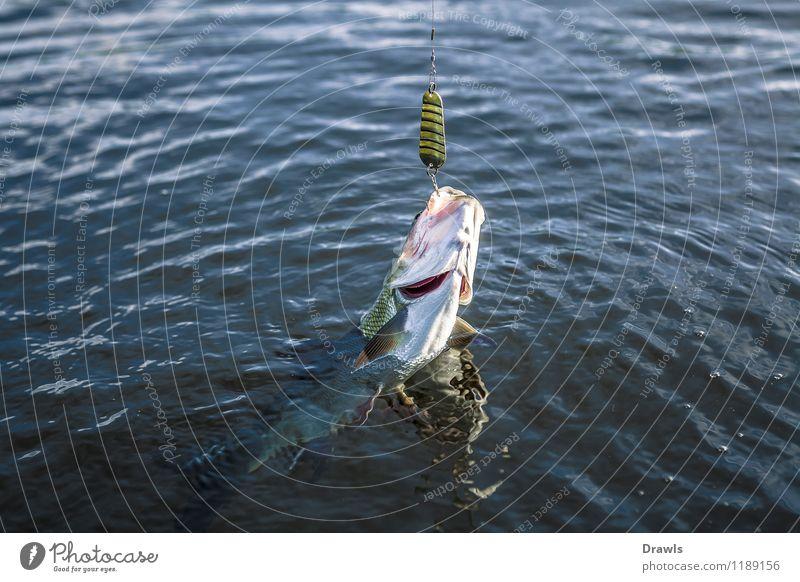 Rapfen am Haken Fisch Raubfisch Friedfisch 1 Tier Wasser fangen kämpfen werfen authentisch frisch lecker muskulös natürlich schleimig Geschwindigkeit schön wild
