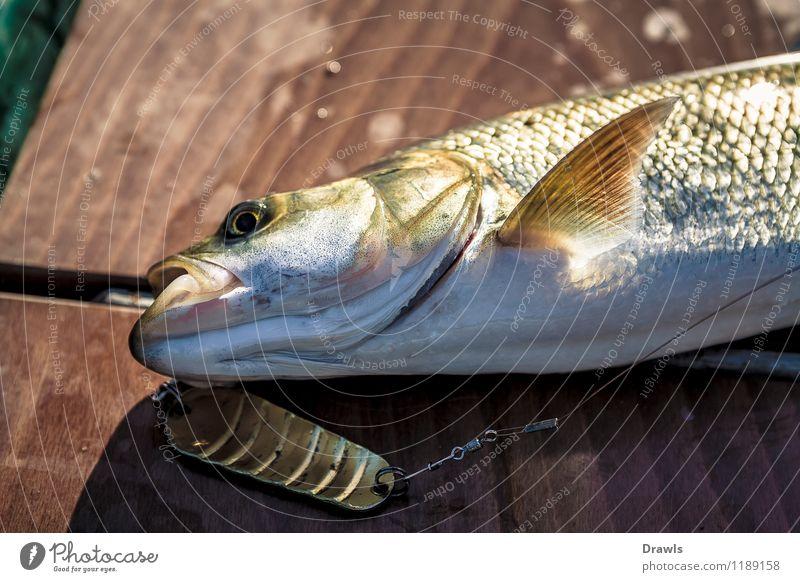 Fangfrischer Rapfen Tier Fisch Angelköder Angelschnur Jagd kämpfen nass natürlich schleimig braun gelb gold grün silber Glück Tapferkeit Erfolg Leidenschaft