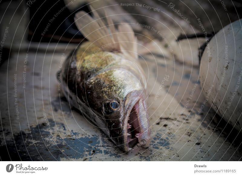 Fangfrischer Boddenzander Fisch Zander Perch 1 Tier fangen Jagd kämpfen Aggression Erfolg Gesundheit glänzend lecker muskulös nachhaltig schleimig wild gelb