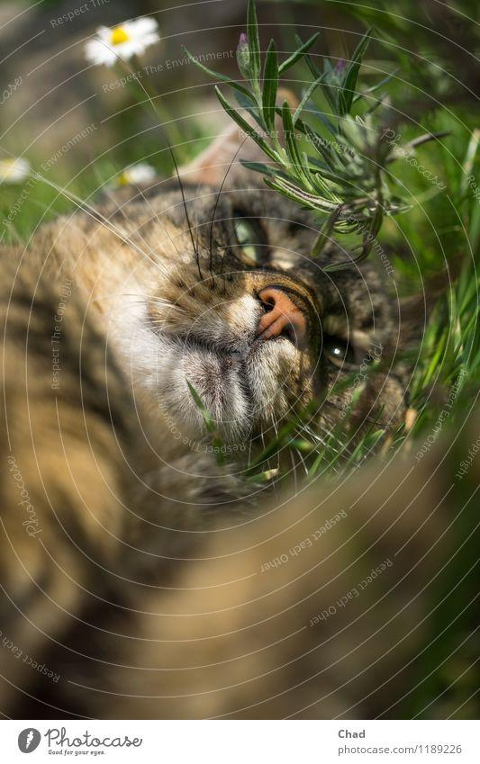 Blümchen Katze Pflanze grün Erholung ruhig Tier Gefühle Wiese Glück Garten außergewöhnlich braun Kopf liegen träumen Zufriedenheit