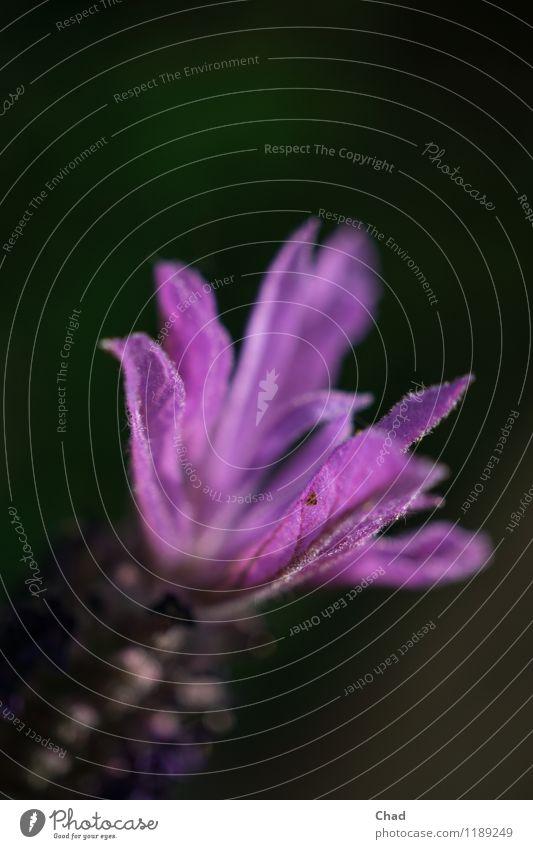 La Vendel Natur Pflanze Frühling Blüte exotisch Lavendel entdecken Erholung Blick Duft dunkel violett schwarz Stimmung Lebensfreude Frühlingsgefühle