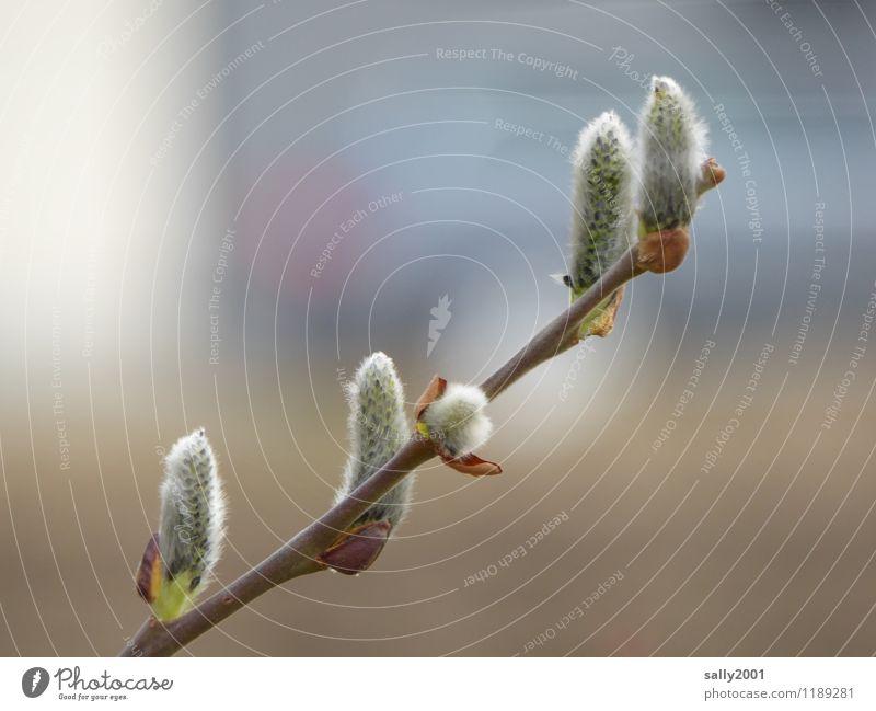zarte Kätzchen... Pflanze Weidenkätzchen Blühend natürlich samtig Frühling Heuschnupfen PKW Farbfoto Außenaufnahme Menschenleer Tag Starke Tiefenschärfe