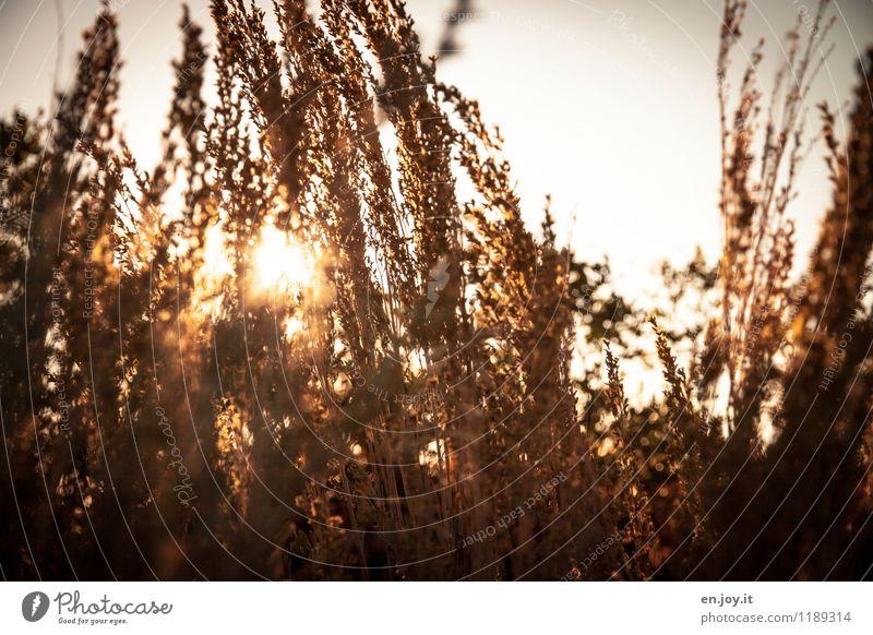 Lichtblick Umwelt Natur Pflanze Himmel Sonne Sonnenaufgang Sonnenuntergang Sonnenlicht Sommer Herbst Schönes Wetter Sträucher Gras Wärme gold orange Stimmung