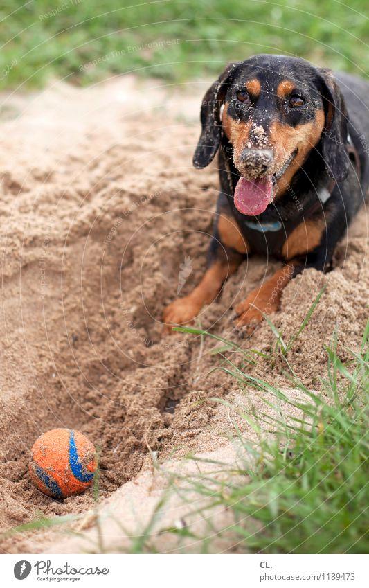 sandnase Hund Natur Freude Tier Umwelt Wiese Gras Spielen Glück Sand Freizeit & Hobby Lebensfreude niedlich Ball Haustier Tiergesicht