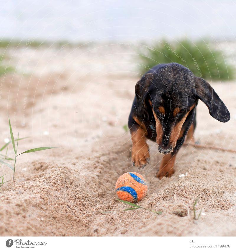 buddeln Hund Natur Freude Tier Strand Umwelt Gras Spielen Sand Freizeit & Hobby Fröhlichkeit Lebensfreude niedlich Neugier Ball Flussufer