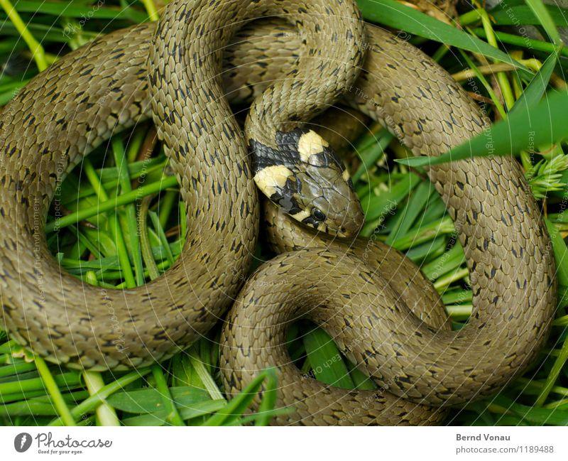 Joachim Schlange 1 Tier schön Ringelnatter Windung Schlangenlinie schlangenförmig elegant Muster Tierhaut Wildtier Gras Kurve gefangen grün braun Farbfoto