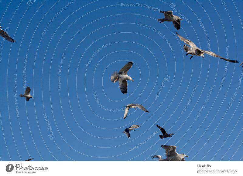 Free as a Bird Himmel blau weiß Ferne Freiheit Vogel Angst hoch fliegen Feder Niveau Flügel Schönes Wetter silber Möwe Panik
