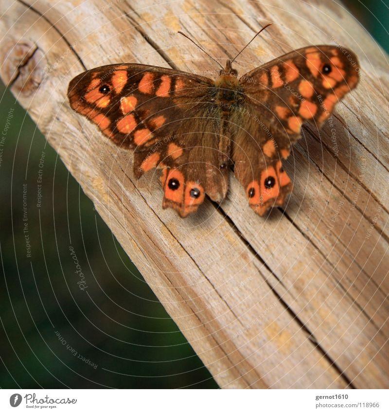 Butterfliege Schmetterling braun Holz Insekt Fluginsekt rot Makroaufnahme Nahaufnahme Flügel orange