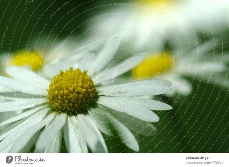 Pflück langsam.... weiß Blume Sommer gelb Wiese Frühling Gänseblümchen Blütenblatt