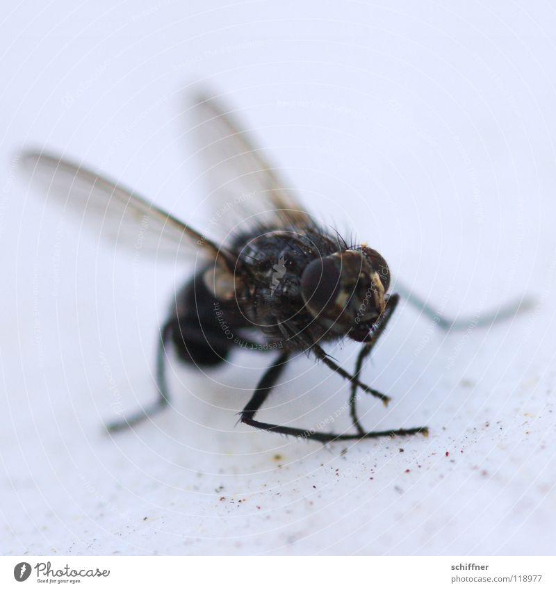 Muggebreigdäns Fliege Eintagsfliege Zweiflügler Tier Insekt Schiffsbug Beine x-beinig Facettenauge Musca domestica Puk die Fliege Flügel Tod